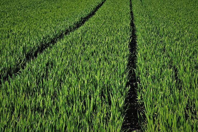Zwalczanie chwastów w kukurydzy